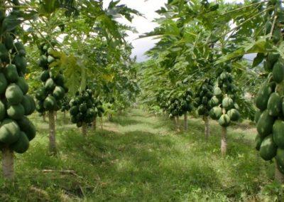 Papaya California, Komoditas Pertanian yang Menjanjikan di Banjarnegara